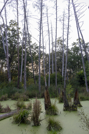 A swamp in a pine forest, completely covered with algae, Landscape