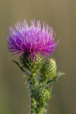 Bull thistle cirsium vulgare Violet flower on a green stem close up