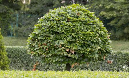hornbeam in a summer park, cut into a beautiful shape close up Stok Fotoğraf