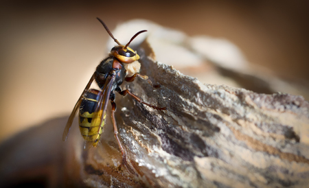 Huge European Hornet. Dangerous predatory insect. Close up Stock Photo