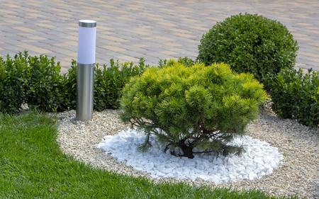 Cultivar dwarf mountain pine Pinus mugo var. pumilio in the rocky garden close up