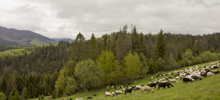 Nature landscape with flock of sheep Grazing goats on the mountainside