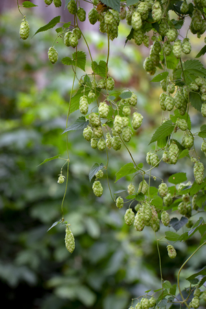 Wild hops, thickets. Hops in the wild flies tall trees.