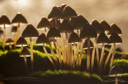 Galerina marginata is deadly poisonous mushroom. In stump Imagens - 109151829