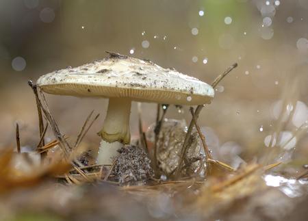 Amanita Phalloides fungus, poisonous subject in wild mountain on a rainy day Stock Photo