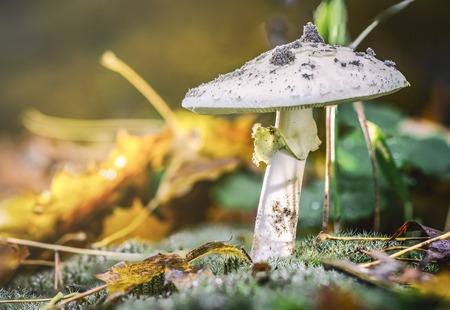 Amanita Phalloides fungus, poisonous subject in wild mountain on a rainy day