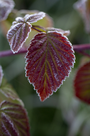 Autumn. Hoarfrost on a raspberry leaf. Close up