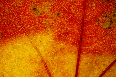 Beautiful detailed golden fall leaf macro - texture close up
