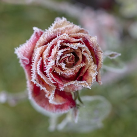 Winter in the garden. Hoarfrost on the petals of a pink rose close up