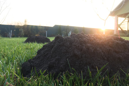 New molehills on lawn made by moles population view on sunny day.