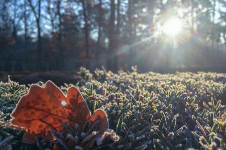 Autumn Early Morning with Hoarfrost on Oak Leaves in park. Leaves, Frost and Ice on Autumn Season Imagens