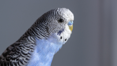 A blue wavy parrot sits on a cage close up 免版税图像