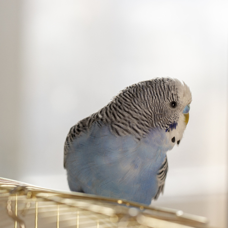A blue wavy parrot sits on a cage close up 스톡 콘텐츠