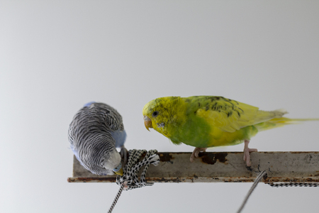 two wavy parrots sit on a cage close up Stock Photo