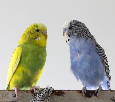 two wavy parrots sit on a cage close up 스톡 콘텐츠