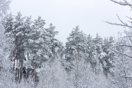 Snowy coniferous forest. Concept of winter beauty and freshness background