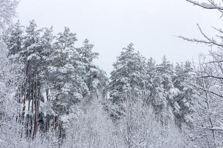Verschneiter Nadelwald. Konzept des Winterschönheits- und -frischehintergrundes