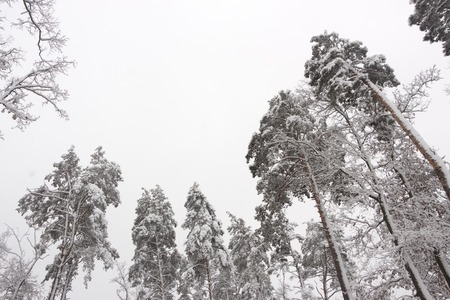 Snow-covered branches of coniferous trees, winter frosty freshness background