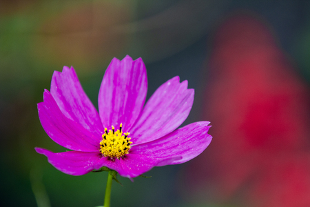Close-up view to tube-petalled Cosmos flower Cosmos Bipinnatus with blurred background close up Imagens
