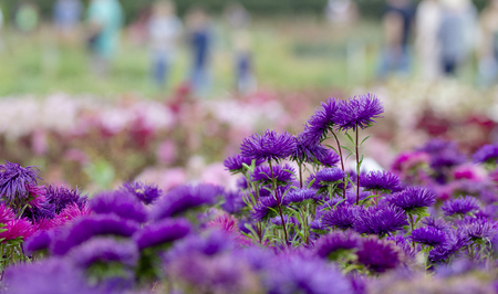 Purple aster on a flowerbed in the park, selective focus, blurred background Close up