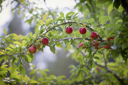 Red ripe plum berries on a branch bent by the weight of the fruit. Background Stock Photo