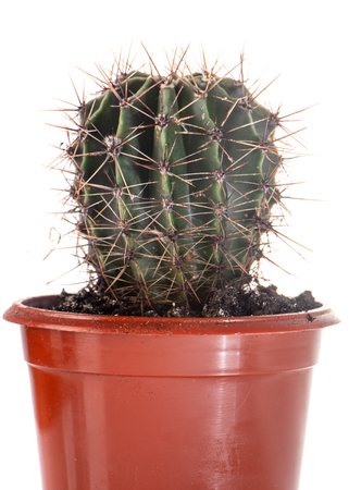 Cactus in a red pot on a white background close up Stock Photo