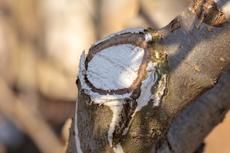 The process of healing a wound on a fruit tree Close up