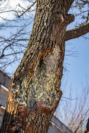 Treating the wounds of trees with garden pitch Close up