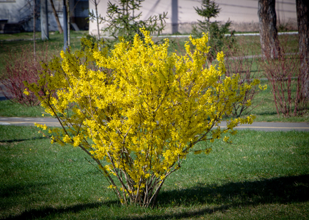 Close up Large blooming forsythia bush blooming in the spring garden