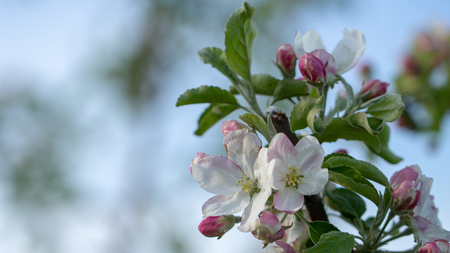blossom apple tree With shallow depth of field and space for text 免版税图像
