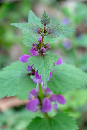 Blind nettle purple, on a green defocused background, in the forest. Close up Stok Fotoğraf