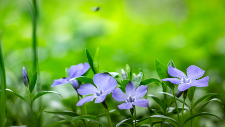close up periwinkle flowers growing in the meadow. Stock Photo