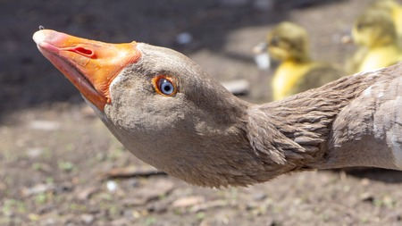 Aggressive home goose, next to small yellow goslings. Against the background of household. Close up