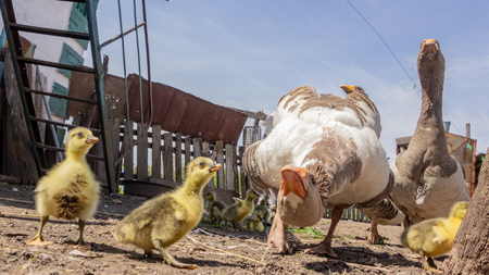 Aggressive home goose, next to small yellow goslings. Against the background of household. Close up 版權商用圖片