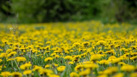 The meadow is covered with a dandelion that blooms, and the green grass Backgroud