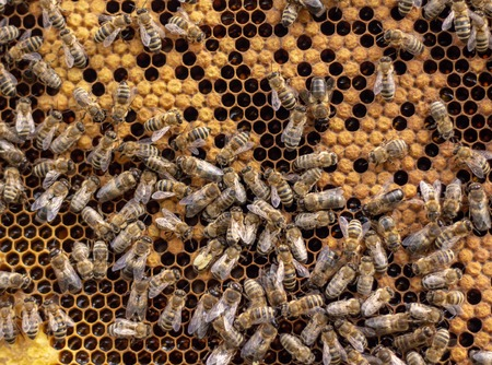 Many working bees on the surface of cells with honey and larvae. Backgound, texture