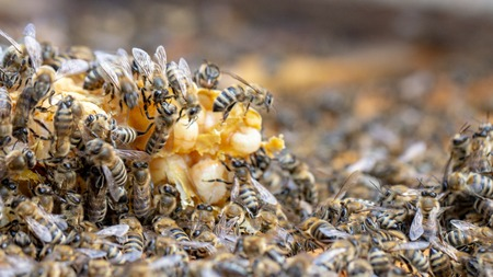 Bees are working in an open hive, which serves a beekeeper close-up