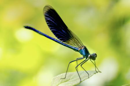 Calopteryx splendens Dragonfly metal dark blue is sitting on a green leaf Close up