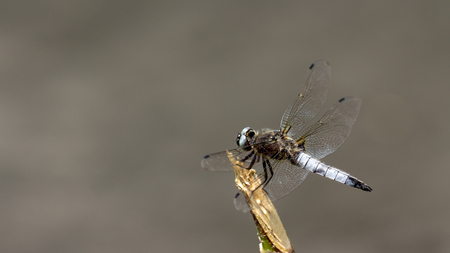 Libellula depressa Broad-bodied Chaser A beautiful gray dragonfly sits on a broken tree branch above the water close up