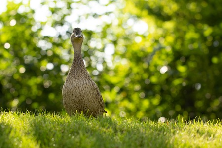Wild duck, female walks on the green grass close up