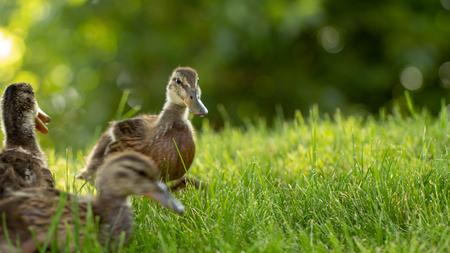 Kleine wilde Entenküken laufen auf dem grünen Gras hautnah
