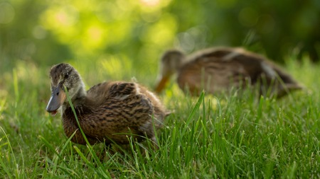 Little wild ducklings walk on the green grass close up Banco de Imagens