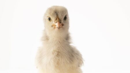 Small white chicken on white background close up.