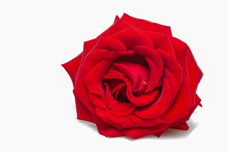 Pink rose on white background, soft selective focus close up