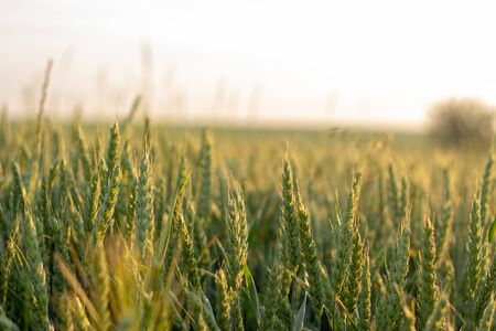 Wheat field in early summer, green wheat spoon close up