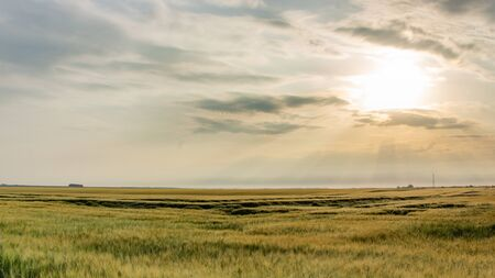 Wheat harvest destroyed by a thunderstorm. Morning summer landscape background Imagens