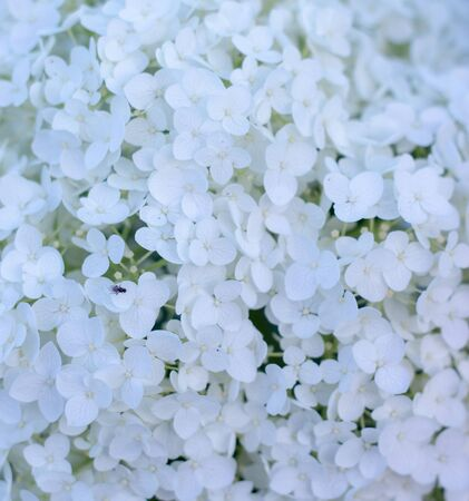 White hydrangea blooming in the evening summer garden close up