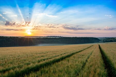 Wheat field with blue sky with sun and clouds against the backdrop, landspace 스톡 콘텐츠