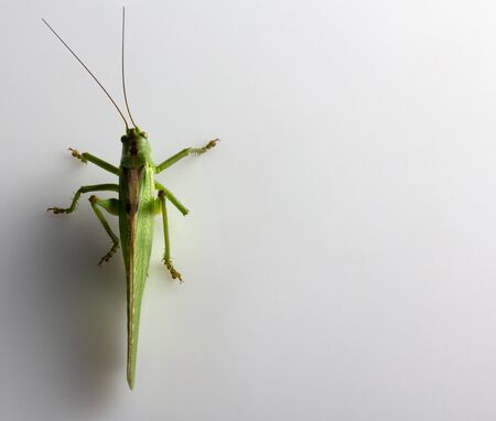 Big green grasshopper isolated on white background