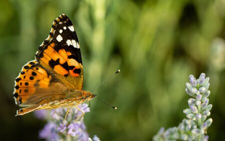 Beautiful yellow butterfly sitting on a branch of lavender.